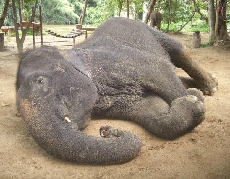 Лежачий азиатский слон. Таиланд