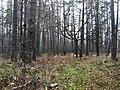 Лес после Окружной Трассы 25.11.2012 - panoramio.jpg
