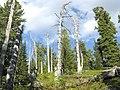 Мёртвый лес.JPG