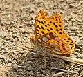 Перламутровка блестящая - Issoria lathonia - Queen of Spain Fritillary - Обикновена седефка - Kleiner Perlmutterfalter (37032510770).jpg