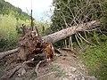 Поваленная тянь-шанская ель в окрестностях Медео. Последствия ураганов в мае 2011-го..JPG