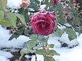 Роза на снегу.JPG