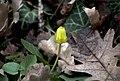 Чистяк весенний - Ranunculus ficaria (Ficaria verna) - Lesser celandine - Жълтурче - Scharbockskraut (23282071783).jpg