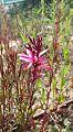 פרח ורוד קוצני.jpg