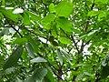 درخت گردو.jpg