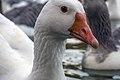 غاز -Geese 16.jpg