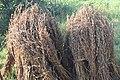 काढणीनंतर वाळवायला ठेवलेल्या तीळ पिकाच्या काड्या Harvested Sesame stalks kept for drying.jpg