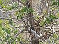 काळा कुडा, लळिंग, धुळे Kala Kuda, Laling, Dhule(Wrightia tinctoria).jpg