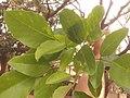 কাঁটা মান্দারের পাতা erythrina fusca.jpg