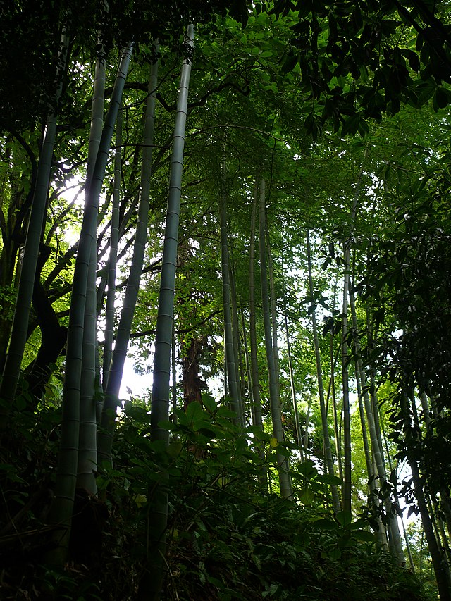 bambou moso au jardin botanic de batumi