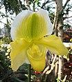 兜蘭 Paphiopedilum Cocoa Green -上海辰山植物園 Shanghai Chenshan Botanical Garden- (17275200936).jpg