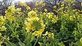 吾妻山公園の菜の花 - panoramio (1).jpg