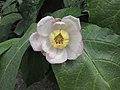 夏蠟梅 Sinocalycanthus chinensis (Calycanthus chinensis) -英格蘭 Wisley Gardens, England- (9229858600).jpg