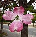 大花四照花 Cornus florida -日本大阪鶴見綠地花博紀念公園 Osaka, Japan- (28182756658).jpg
