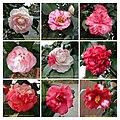 山茶花 Camellia japonica cultivars 3 -深圳園博園茶花展 Shenzhen Camellia Show, China- (9204847519).jpg