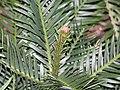 恐龍杉 Wollemia nobilis -香港花展 Hong Kong Flower Show- (9222672894).jpg