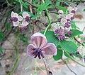 木通 Akebia quinata -澳洲 Garden of St Erth, Australia- (10834938644).jpg