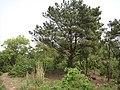 松树 - panoramio (3).jpg