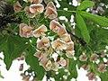 毒雀花+Laburnocytisus adamii -荷蘭園藝展 Venlo Floriade, Holland- (9255189606).jpg