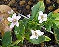濱海珍珠菜(濱排草) Lysimachia mauritiana -台北植物園 Taipei Botanical Garden- (34926870423).jpg