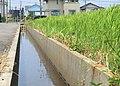 田んぼの水路 - panoramio.jpg