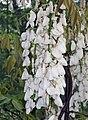 白花紫藤 Wisteria sinensis -南京中山植物園 Nanjing Botanic Garden, China- (9240154068).jpg