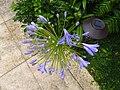 百子蓮 African Lily - panoramio.jpg