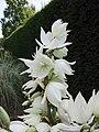 絲蘭屬 Yucca flaccida -英格蘭 Wisley Gardens, England- (9227006045).jpg