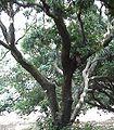 荔枝树.jpg