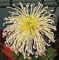 菊花-羽衣舞鶴 Chrysanthemum morifolium 'Feather Clothing Dancing Crane' -中山小欖菊花會 Xiaolan Chrysanthemum Show, China- (12065512476).jpg