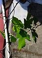 葡萄 grape - panoramio.jpg