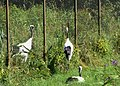 釧路丹頂鶴自然中心 Kushiro Red-crowned Crane Nature Park - panoramio.jpg