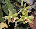鐵皮石斛 Dendrobium officinale -香港沙田洋蘭展 Shatin Orchid Show, Hong Kong- (9222680500).jpg