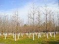 银杏林 - panoramio.jpg
