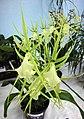 長萼蘭屬 Brassia Rex 'Waiomao Spotless' -香港青松觀蘭花展 Tuen Mun, Hong Kong- (9222655254).jpg