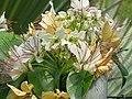 魚木 Crateva religiosa -新加坡植物園 Singapore Botanic Gardens- (9240277774).jpg