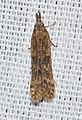 - 2281 – Dichomeris ligulella – Palmerworm Moth (18931042120).jpg