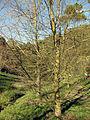 030 Bosc vora el pantà de Vallvidrera.jpg