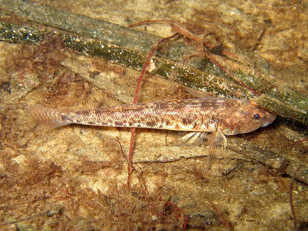 Pomatoschistus microps