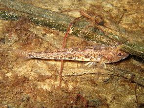 046-011 Pomatoschistus microps.JPG