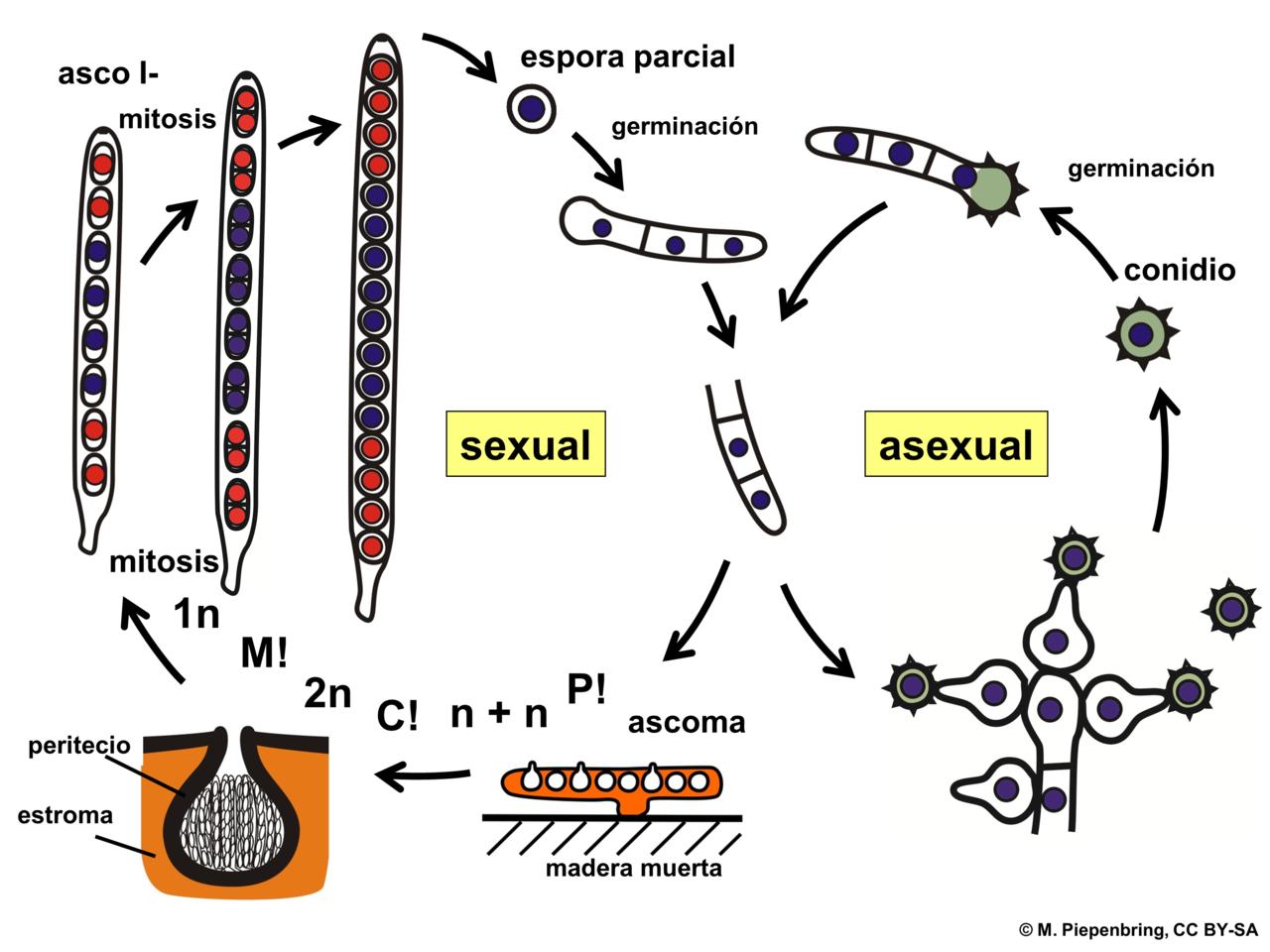 File 04 03 29 Ciclo De Vida  Hypocrea Sp   Hypocreales