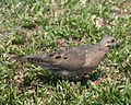 060401 eared dove IB - Flickr - Lip Kee.jpg