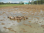 09461jfRoads Paddy fields Domesticated ducks Paligui Candaba Pampangafvf 13.JPG