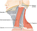 1610 Muscles Controlled by the Accessory Nerve-02.jpg