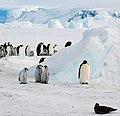 2007 Snow-Hill-Island Luyten-De-Hauwere-Emperor-Penguin-40.jpg
