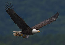 Bald eagle Wikipedia