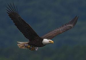 Eagle-bone whistle - Bald eagle