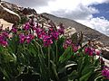 2013-07-14 12 42 01 Parry's primrose along the Wheeler Peak Summit Trail in Great Basin National Park, Nevada.jpg