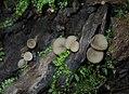 2013-08-07 Ciboria peckiana (Cooke) Korf 355493.jpg
