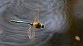 2013.07.07.-1-Drosedow-Glaenzende Smaragdlibelle-Maennchen im Flug.jpg